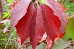 Лист пятилисточкового девичьего винограда