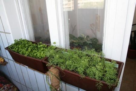 В домашних условиях это неприхотливое растение чувствует себя не хуже, чем на грядке, и при хорошем уходе дает много пышной зелени.