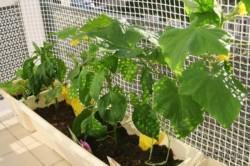 В какое время выращивать овощи