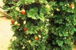 Выращиваем клубнику на балконе