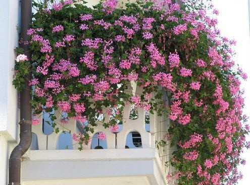 Вьющиеся растения для балкона - отличное украшение как с солнечной, так и с теневой стороны дома.