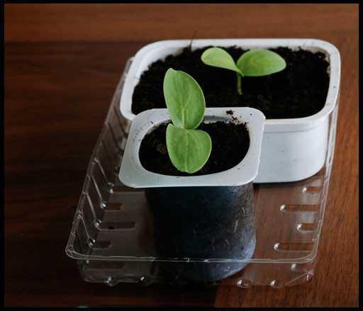 Огурцы не любят пересадки, поэтому лучше всего сажать семена сразу в ту емкость в которой огурец и будет расти