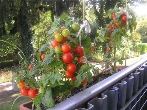 Вырастить помидор на балконе не сложно